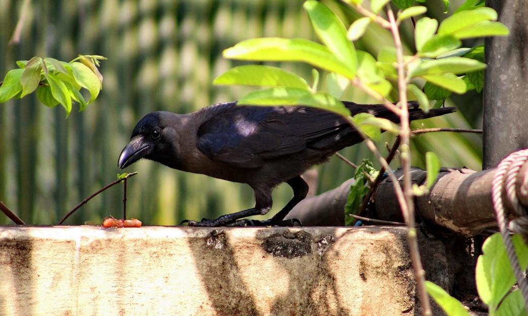 House_Crow_(Corvus_splendens)_in_Shantinagar,_Dhaka,_Bangladesh,_17_March_2015